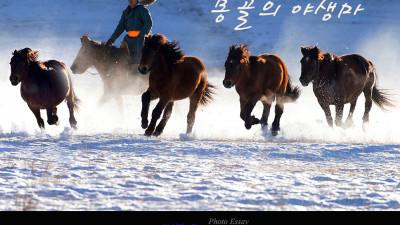 설원을 달리는 몽골의 야생마